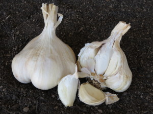 Kettle River Garlic